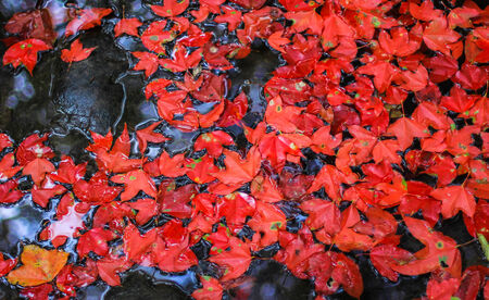 red maple leaf: Red Maple Leaf on Water