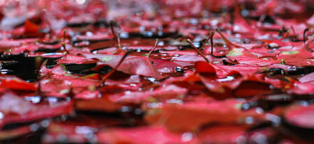 red maple leaf: Red Maple Leaf on Water, Thailand