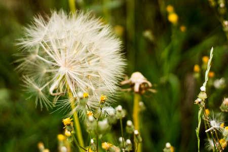 Dandelion ready to be blown in a green field Foto de archivo