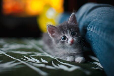 A grey kitten lying on the sofa next to a man