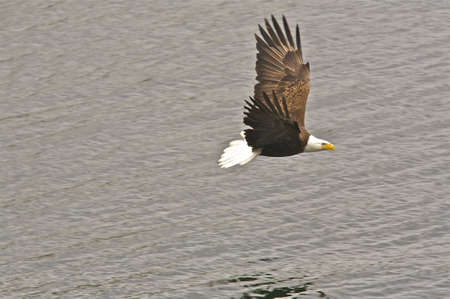 Bald Eagle Soaring over Water