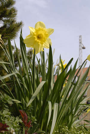 K�BENHAVNCOPENHAGENDANMARK DENMARK. Daffodils flowers  in nature April 14, 2009       (PHOTO BY FRANCIS DEAN  DEAN PICTURES) photo