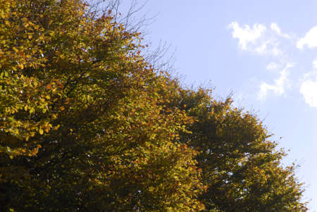 ediroial: Copenhagen  Denmark. Blue sky and autumn leaves on treet 30 Oct. 2012
