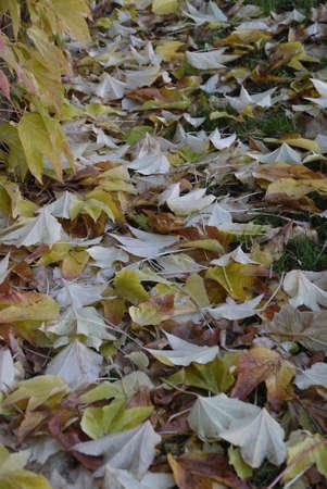 ediroial: Copenhagen   Denmark _Nature autumn leves fallen on grass 4 Nov  2012