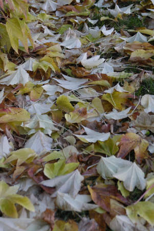 ediroial: Copenhagen   Denmark _Nature autumn leves fallen on grass 4 Nov  2012      Stock Photo