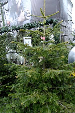ediroial: Copenhagen  Denmark.  Christmas trees for christmas celebrations 6 Dec. 2012
