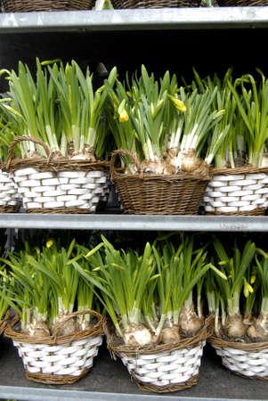 fakta: KASTRUP COPENHAGEN DENMARK _  Daffodils flower   easter lillies  6 April 2013