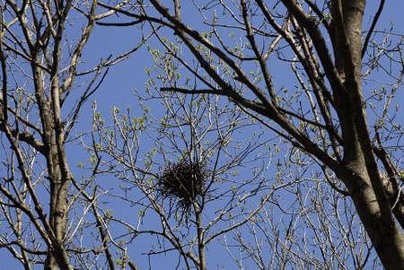 kastrup: KASTRUP COPENHAGEN DENMARK _   Crows nests on trees 15 May 2013