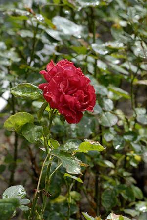 ure: KASTRUPCOPENHAGENDENMARK _  Rain drops on various colour roses 5 August 2013      Stock Photo