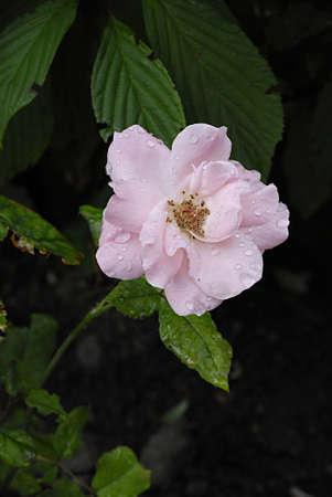 ure: KASTRUPCOPENHAGENDENMARK _  Rain drops on various colour roses 5 August 2013