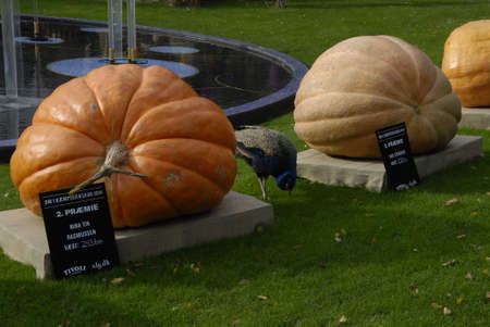 COPENHAGEN/DENMARK American tradion hs come in Tivoli garden pumpkines contest and nr 1 and nr2 and nr.3 tivoli garden march through parkand children painted in various halloween dress and colour halloween during falls schools and indsutry vacations  trav Sajtókép
