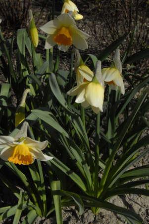 francis dean: .Copenhagen.Denamrk _20 April 2015_   Daffodils flowers  danish weather sunday day Editorial