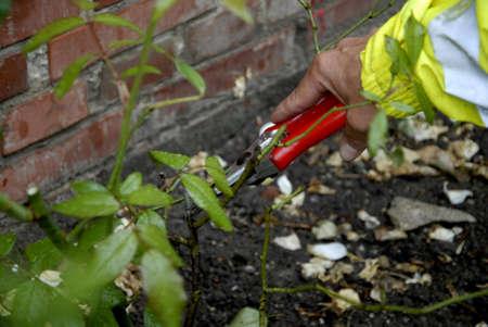 paysagiste: Kastrup.Copenhagen.Denmark 11 Août ici à 2015 Dansh paysagiste femelle de Gardner triming rosiers