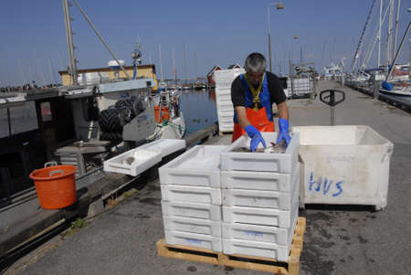 codfish: DragorCopenhagenDenmark 21 August  2015_   Danish fisherman sorting out his morning  codfish catch  for indsutry use at Dragro fishing habour
