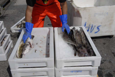 habour: DragorCopenhagenDenmark 21 August  2015_   Danish fisherman sorting out his morning  codfish catch  for indsutry use at Dragro fishing habour