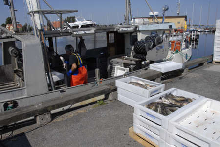 sorting out: DragorCopenhagenDenmark 21 August  2015_   Danish fisherman sorting out his morning  codfish catch  for indsutry use at Dragro fishing habour