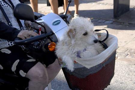 three wheel: CopenhagenDenmark 23 August  2015_  eldlery female and her pet ride on three wheel scooter