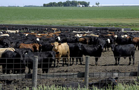 fars: PLYMOUTH COUNTY IOWA USA- Former life animals cattles and barns and agriculture and former country life         13 JUNE  2014