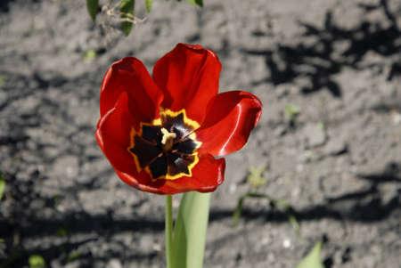red tulips: Copenhagen Kastrup.Denmark 07  May  2016 _Single Red Tulips flower