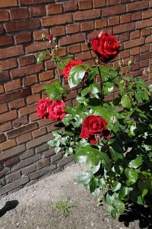 danmark: Kastrup Copenhagen Denmark. 11 July 2016_Rorse flowers covered with rain drop . Stock Photo