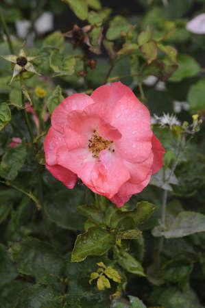 whote: KastruoCopenhagen_Denmark_  30 July 2016-  Rose flowers and plants