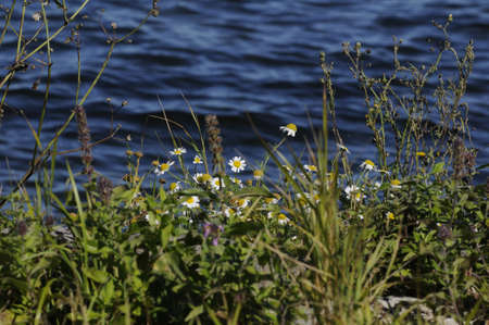 habour: 05 September  2016- Water and wild flowers at Dragor habour      in Dragor Copenhagen  Denmark