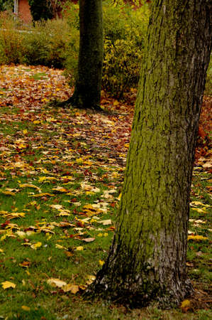 autumn colour: Kastrup_ Copenhagen_Denmark _ 06th.November  2016_Trees and leave full with autumn golden colour .  Stock Photo