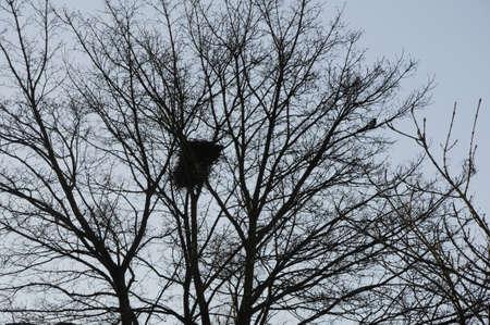 kastrup: Kastrup_ Copenhagen_Denmark _ 20.January 2017_ Aany bird nest on tree branches.