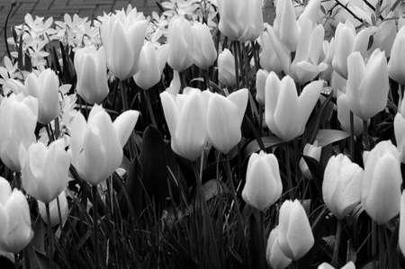 Copenhagen_Denmark _28..April 2017_ Regen valt op tulp bloemen.