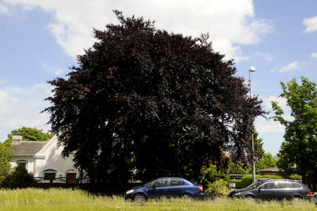 Copenhagen Denmark - 10 June 2017.  Dark brown leave tree. Editorial