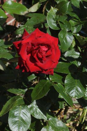 natue: kastrupCopenhagen Denmark - 15 June  2017.    Red rose flower and plants .