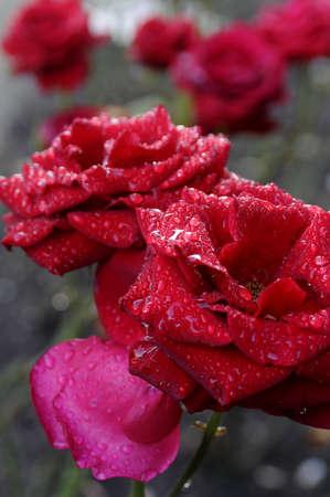 editorial: Copenhagen Denmark - 02 October  2017. Rain drops on red rose flowers and plants.