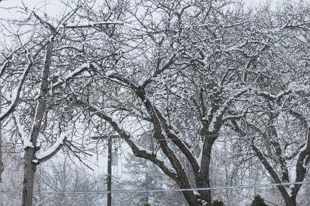 Tree covered wirh heacy snw fall and 4 inche snow falls in Lewiston Idahi, USA