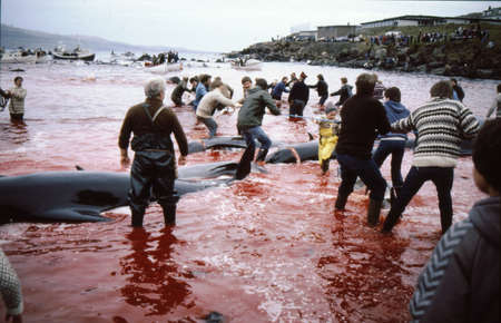 THORSHAVN / FAROE ISLANDS 16 July 1982_Traditional people killing whlales  for food and community gettogether to celebrate  tradional whale king in near habour in Thorshavn. Editorial