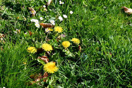 Copenhagen/Denmark 30 April 2018_daisy and dandelions flowers in nature .