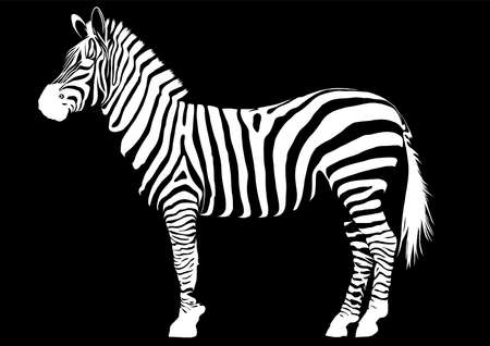 illustration animal zebra vectorin black background