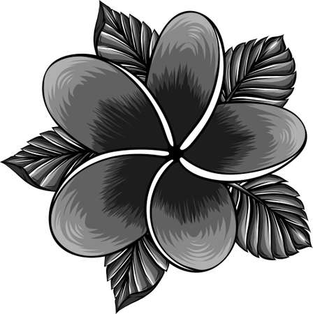 vector illustration of frangipani flower isolated on white Ilustração