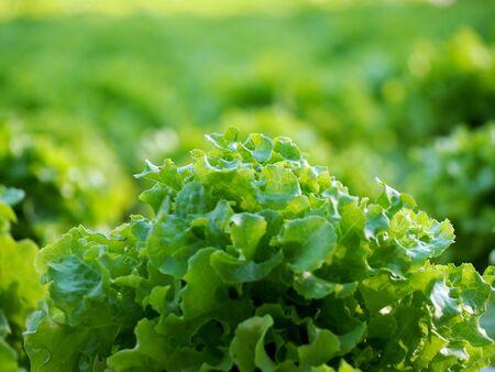 Organic hydroponic vegetable farm