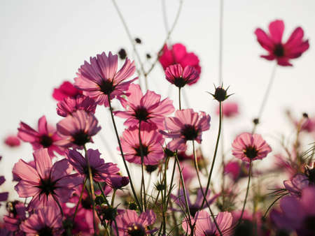 Beautiful cosmos flowers blooming in garden