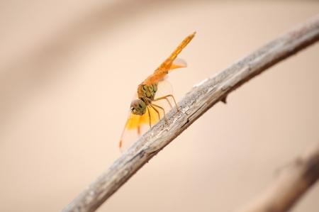 entomology: Dragonfly