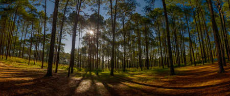 pine forest: Pine forest Stock Photo