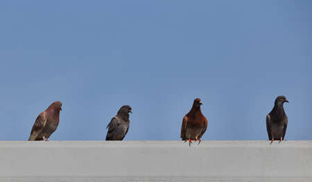roosting: Pigeons roost on tile roof of building with blue sky space above for typeset. Stock Photo