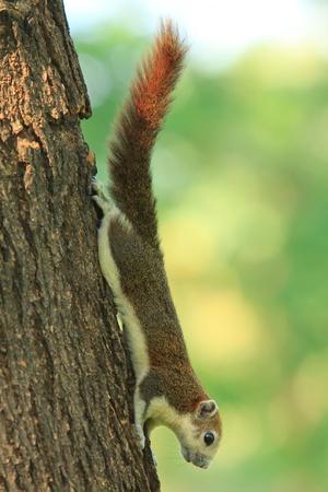 bushy: cute squirrel on the tree