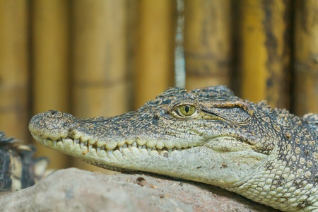 young Crocodile on the rock  photo