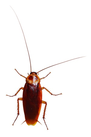 cockroach: cockroach isolated Stock Photo