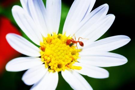 ant leaf: Macro hormiga roja en la flor Foto de archivo