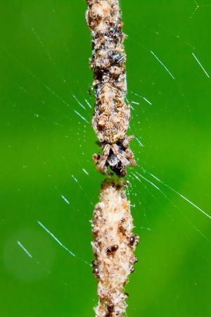 garden spider in the net photo