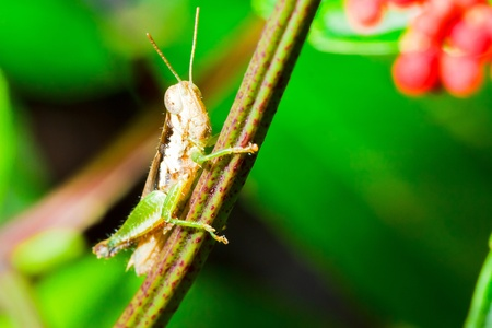 imago: green cricket insect