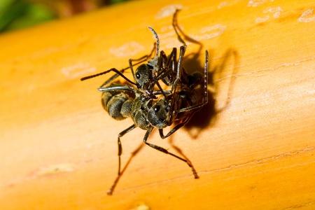 macro Black ant killing his friend  photo
