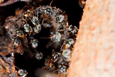 abeja reina: de trabajo de las abejas en el árbol